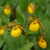 Yellow Lady Slipper (small)