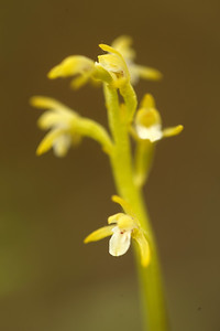 Early Coralroot