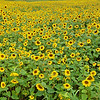 Hardin Valley Sunflowers