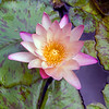 Flower in the pond at the Hotel in Waikiki