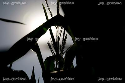 20080726_Corn