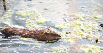 A Muskrat swims through algae on the pond located on the north end of the Lake Land College campus on Monday, March 16, 2009. (Jay Grabiec)