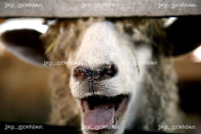 20080729_Sheep