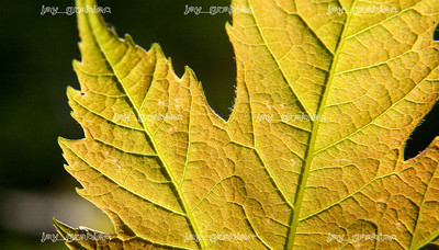 The sun reveals the veins on a newliy budded Red Maple leaf at Douglas-Hart Nature Center in Mattoon on Ma 5, 2008. (Jay Grabiec/Staff Photographer)