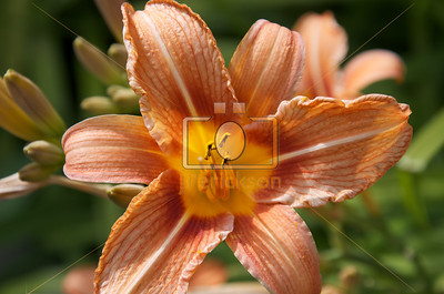 Orange Day Lilies 6-23-2012 7