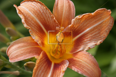 Orange Day Lilies 6-23-2012 6