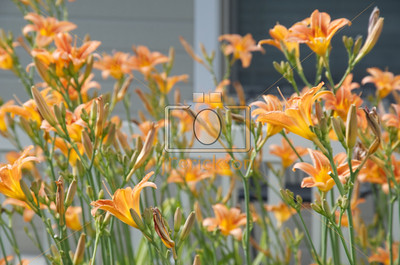 Orange Day Lilies 6-23-2012 10