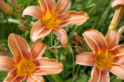 Orange Day Lilies 6-23-2012 4