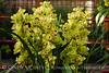 Orchids, Atlanta Botanical Gardens (1)
