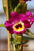 Orchids, Atlanta Botanical Gardens (3)