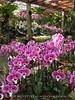 Orchids, Atlanta Botanical Gardens (14)