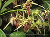 Orchids, Atlanta Botanical Gardens (17)