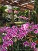 Orchids, Atlanta Botanical Gardens (13)