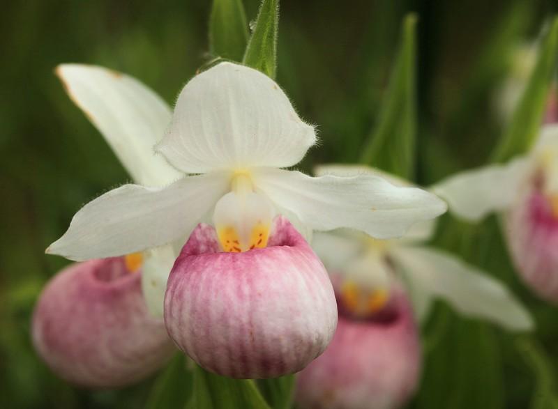 Pink and white showy lady slipper jon wood photography pink and white showy lady slipper mightylinksfo