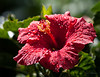 Hibiscus after the summer rain.  Toronto