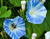 A bee already dusted with pollen enters the receptacle of a Morning Glory bloom.