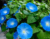 Morning Glories are a favourite.  They are active, vibrant, and never fail to impress.  A gardener also needs to be careful about where they are planted as they sneak up on everything else.