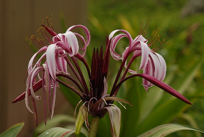 © Joseph Dougherty.  All rights reserved.   Taxon: Crinum amabile  Donn Common Names: Giant Spider Lily, Giant Swamplily, Pink Spider Lily, スマトラ, Queen Emma's Lily Family: AMARYLLIDACEAE or LILIACEAE (depending on source, Amaryllidaceae may be included inside Liliaceae)  A large bulb growing above ground, producing thick fleshy leaves and very large flower heads, greater in diameter than a basketball.