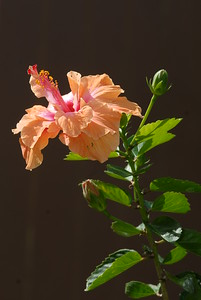 © Joseph Dougherty.  All rights reserved.   Orange Hibiscus