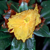 © Joseph Dougherty.  All rights reserved.  <font size=5><i>Costus igneus</i></font>    <font size=5> Yellow Spiral Ginger</font>  Range:  Brazil Collection: San Francisco Conservatory of Flowers  This is a rare species of Costus.   Costus is a genus of perennial tropical herbaceous plants from the costus family (Costaceae). They are often characterized and distinguished from relatives such as Zingiber (true ginger) by their spiraling stems. The genus as a whole is thus often called spiral gingers.