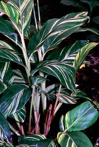 © Joseph Dougherty.  All rights reserved.  Alpinia speciosa var. variegata       Variegated Red Ginger  Range: Central and South America Collection: San Francisco Conservatory of Flowers