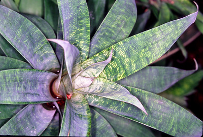 © Joseph Dougherty.  All rights reserved.  Vriesea ospinae   H. Luther   Bromeliad