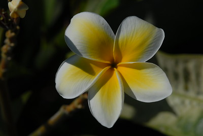 © Joseph Dougherty.  All rights reserved.   Plumeria sp., Frangipani