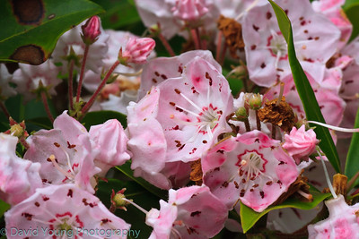 Mountain Laurel on Skyline Drive