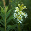 Western Fringed Prairie Orchid