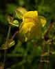 YellowMonkeyFlower003