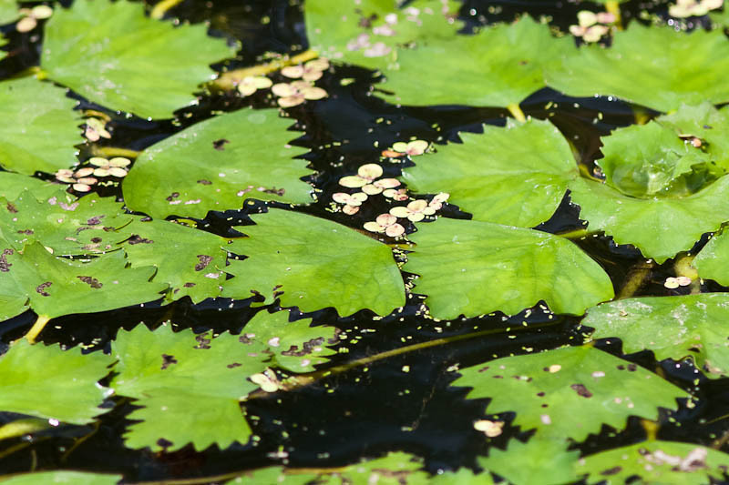 Lilly pads at Five Rivers