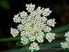 Queen Anne's Lace Wild Carrot