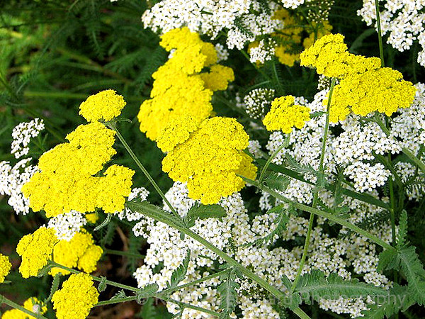 Yellow & White Yarrow
