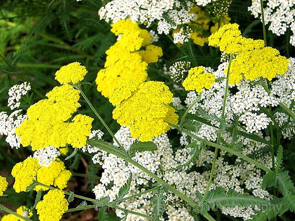 Yellow & White Yarrow