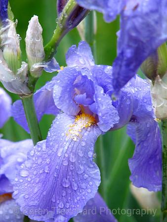 Dewy Purple Iris