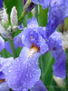 Dewy Purple Iris