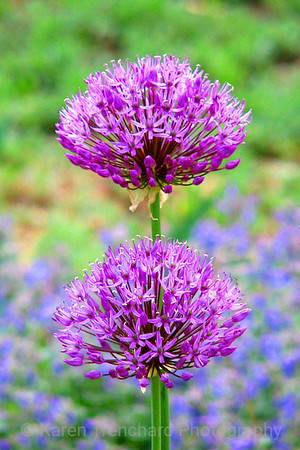 Purple Pair