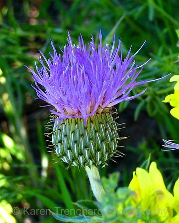 Purple Thistle Carduus Asteraceae Milk Thistle