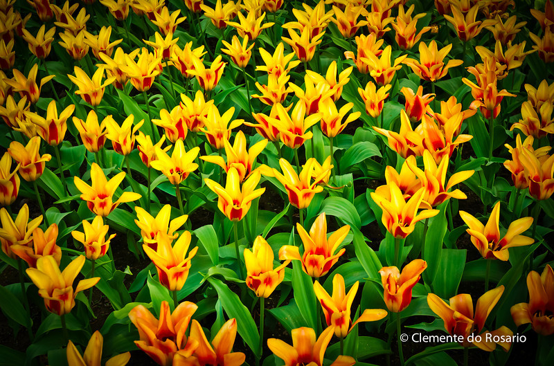 Tulips in bloom in the Spring 2011