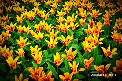 Tulips in bloom in the Spring 2011