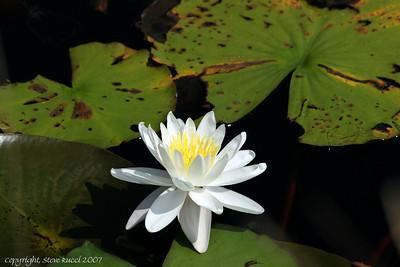 Water Lily (Nymphaea odorata Aiton) - Florida Panhandle.