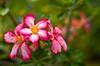 DSC_9858 pink plumeria flowers 2012 1