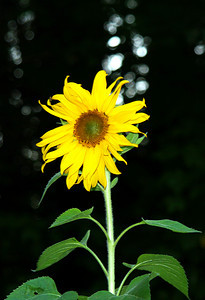 Sun Flower enjoying Biddeford Pool, Maine #2224