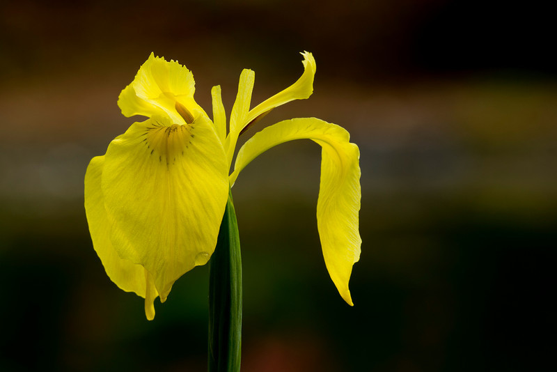 Yellow Flag Iris (Iris pseudacorus) - Alfred B. Maclay Gardens State Park, Florida