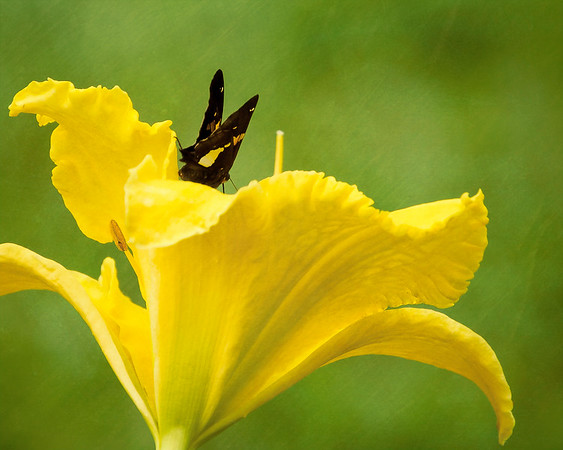 Butterfly on Yellow Daylily