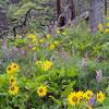 Long-leaf Lupine and Arrowleaf Balsamroot flowers