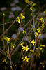 DSC_6629 spring flowers Forsythia branches yellow vignette 2010 1
