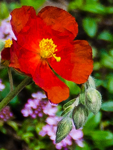 Redish Orange Flower