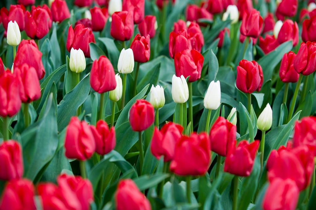 Tulip Festival at RoozenGaarde, Mount Vernon WA