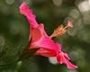 Hibiscus-0023